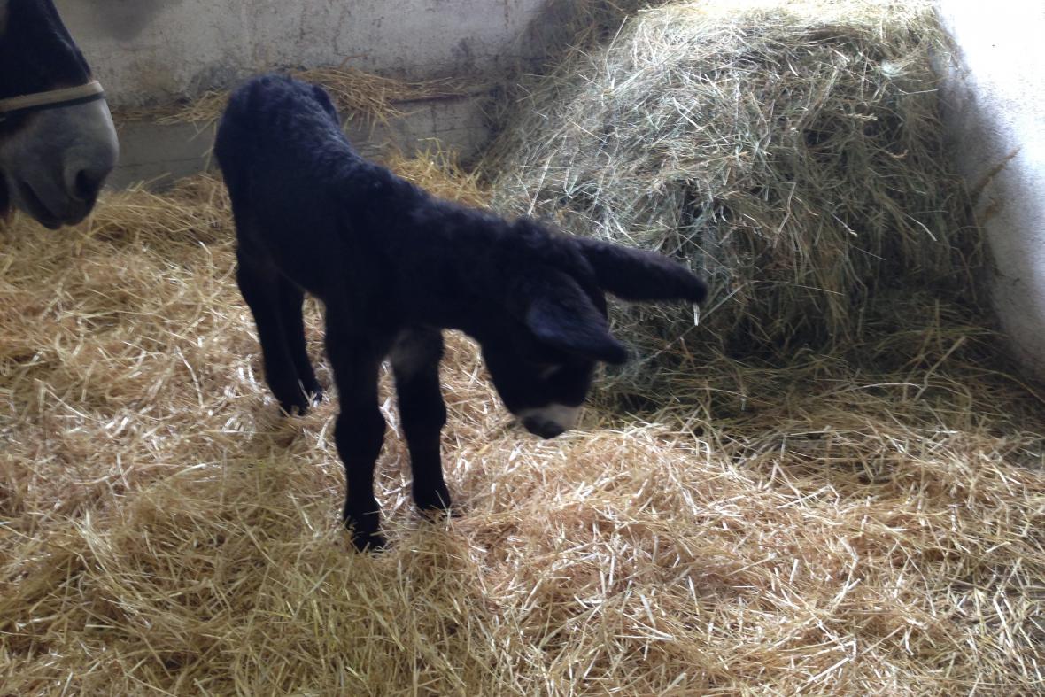 Ve vyškovském zooparku se narodilo mládě osla poitouského