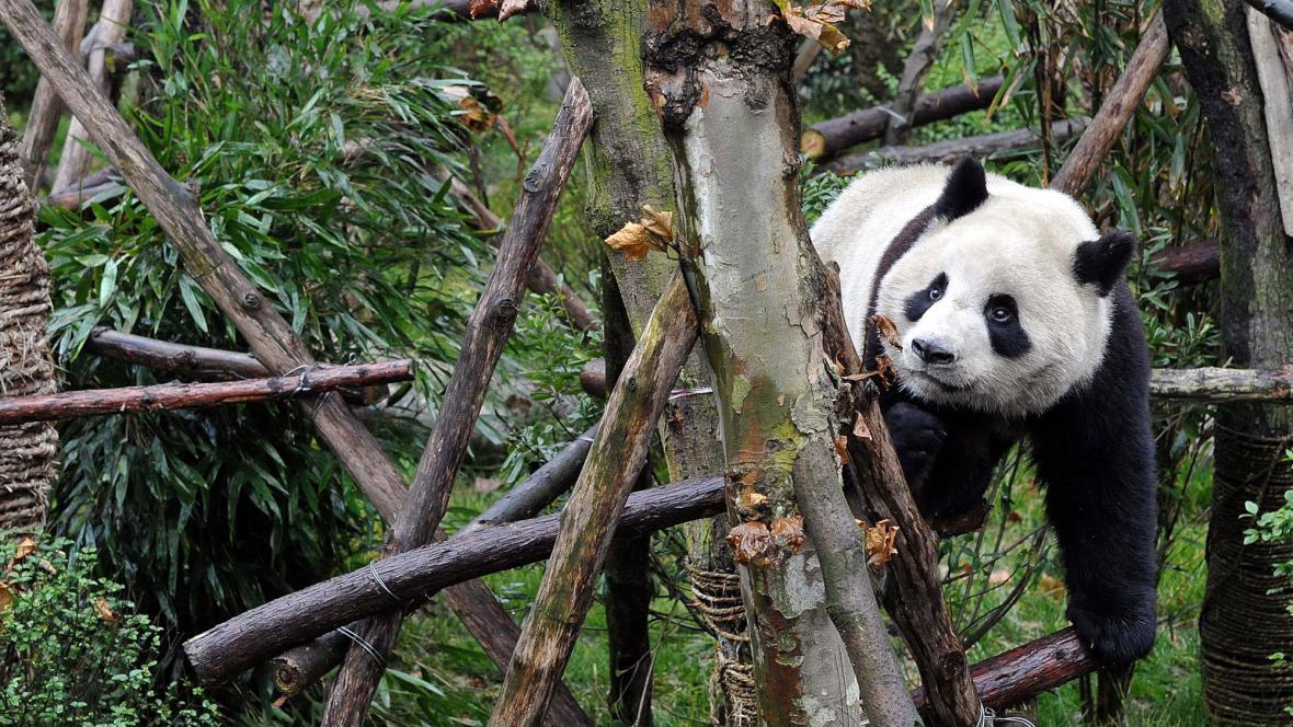 Panda v pandí rezervaci