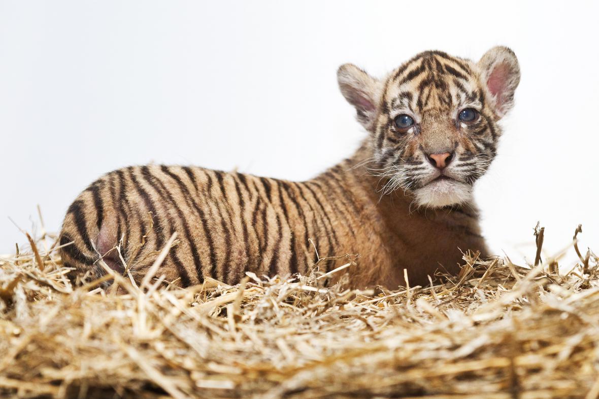 Mládě tygra sumaterského v pražské zoo