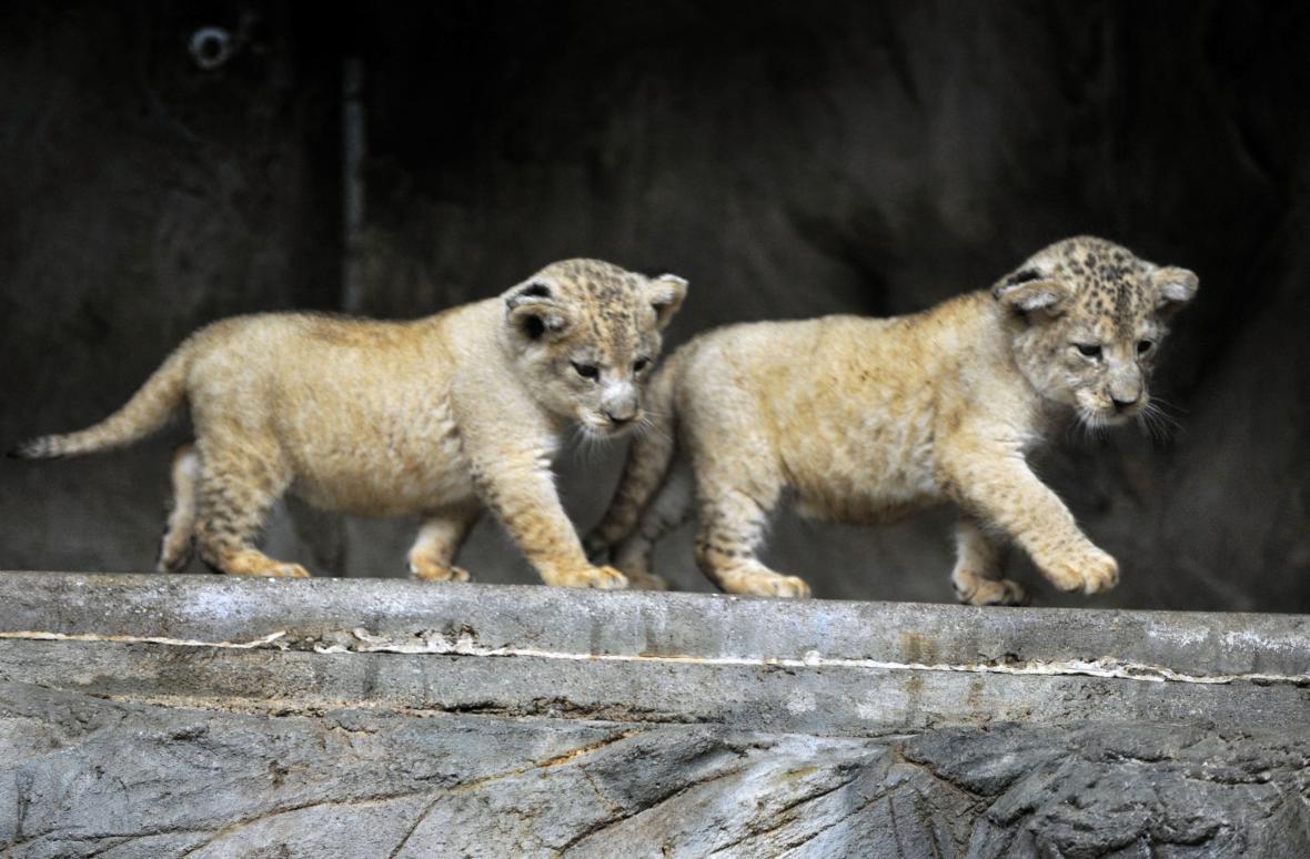 Lvíčata lva berberského