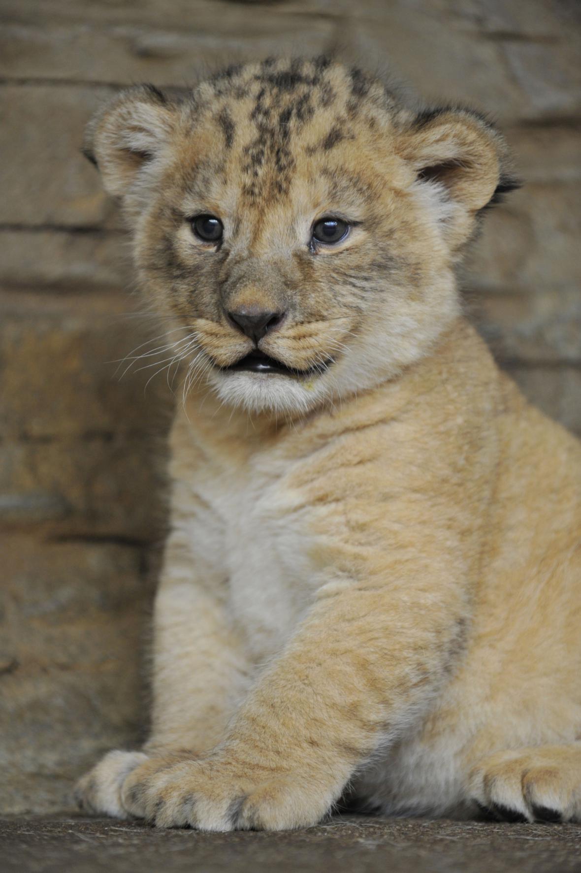 Mládě lva berberského