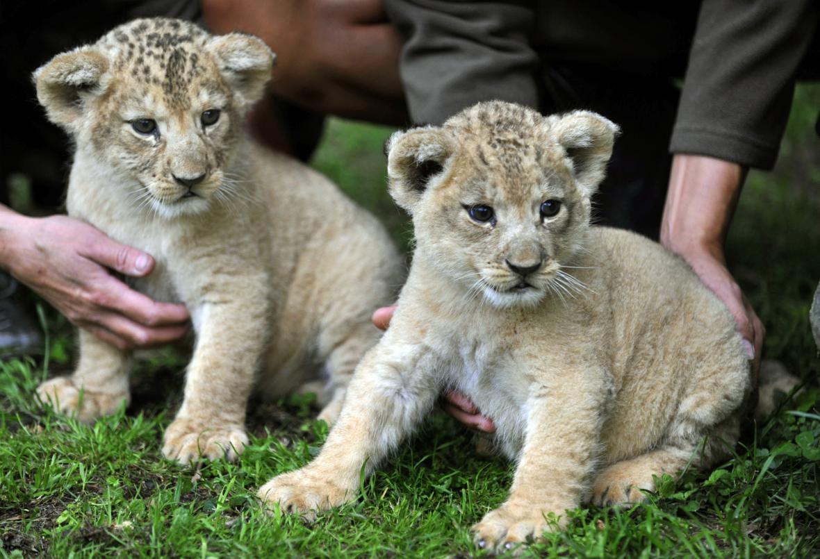 Mláďata lva berberského