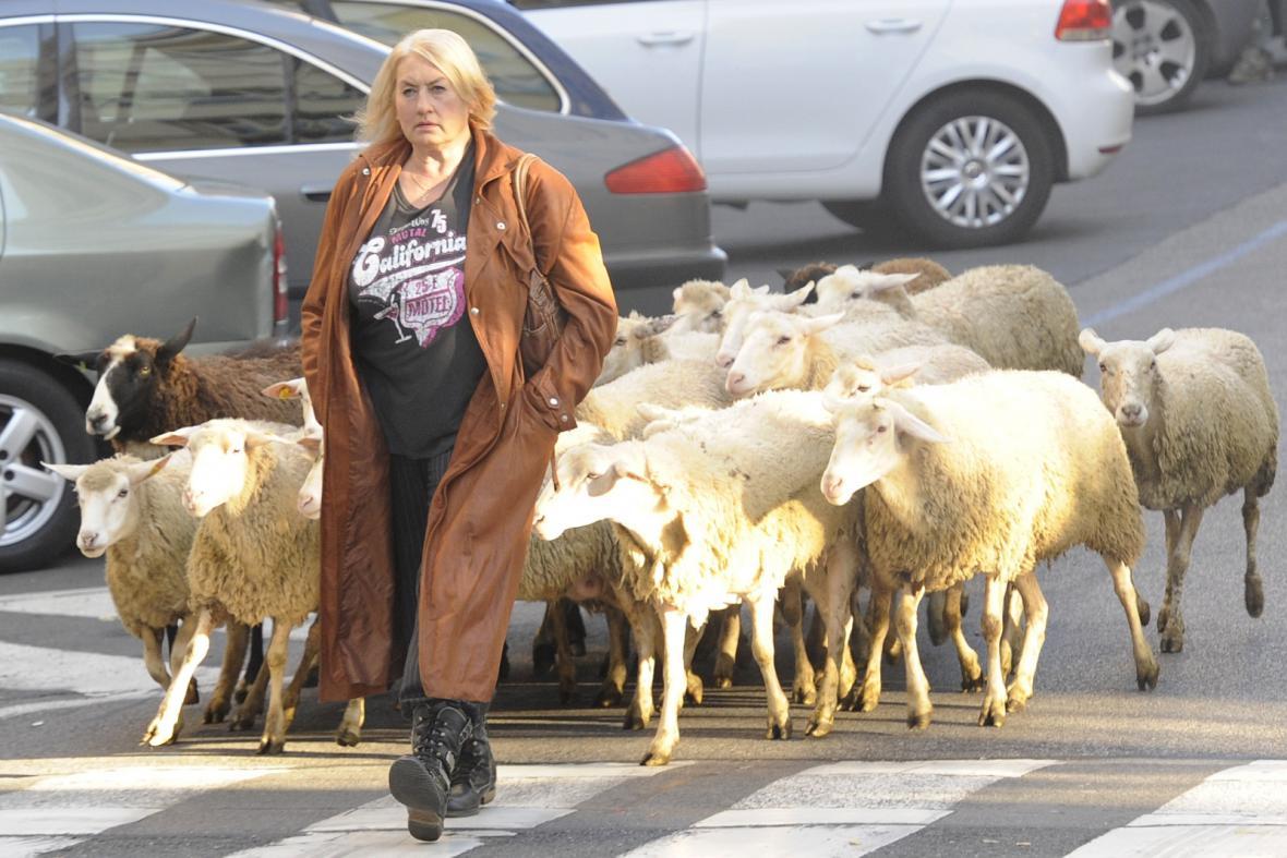 Zuzana Michnová a stádo ovcí