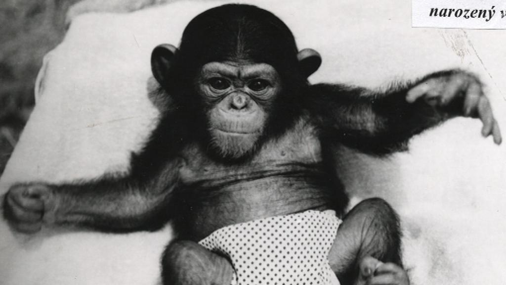 Mládě šimpanze odchované v brněnské zoo
