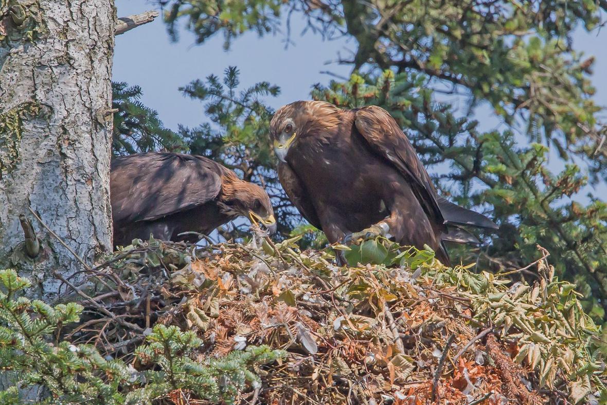 Hnízdo orlů skalních