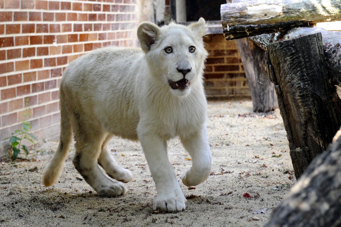 Sedmiměsíční lev jihoafrický