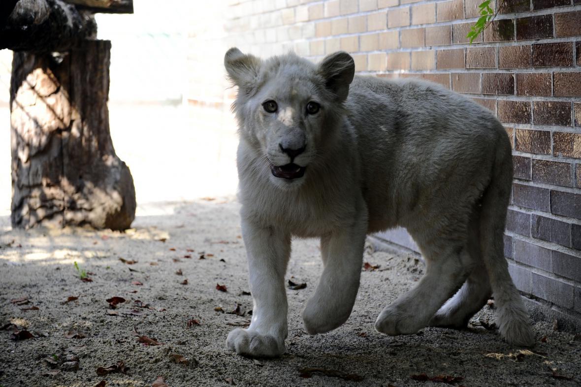 Zoo chce lvovi do budoucna přivézt partnerku