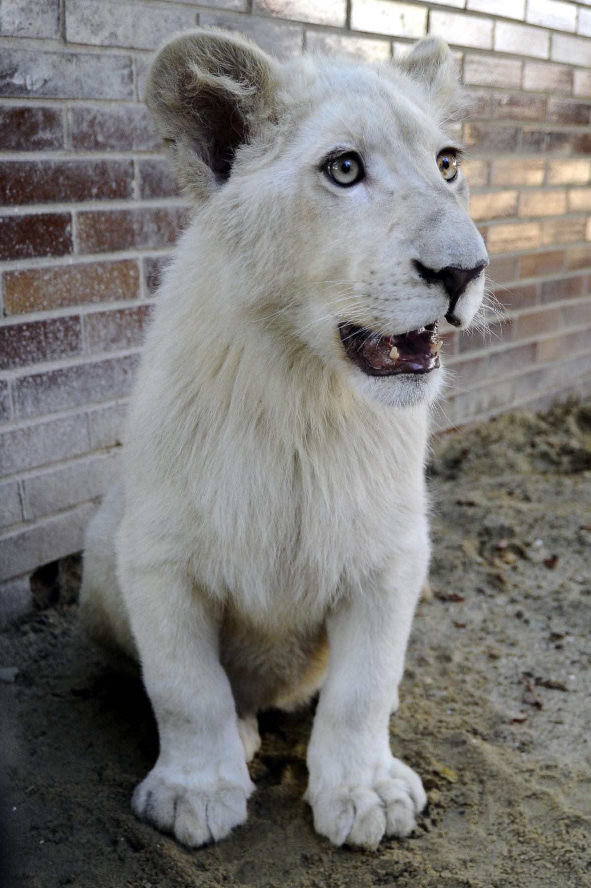 Sedmiměsíční lvíče zatím nemá jméno
