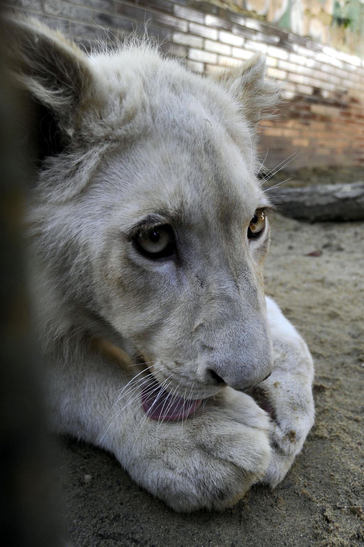 Lvíčeti je sedm měsíců