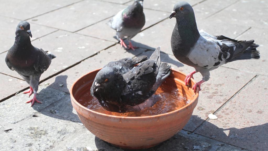 Ochlazení ve vodě si užívají i krakovští holubi