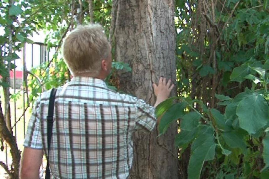 Podle dendrologa už měl být strom dávno pokácený