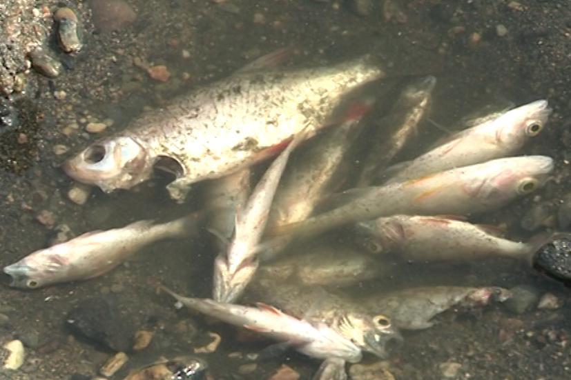 Uhynulo už osm metrů krychlových ryb