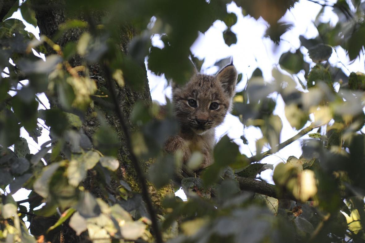 Pokud se rys cítí ohrožen, šplhá na stromy
