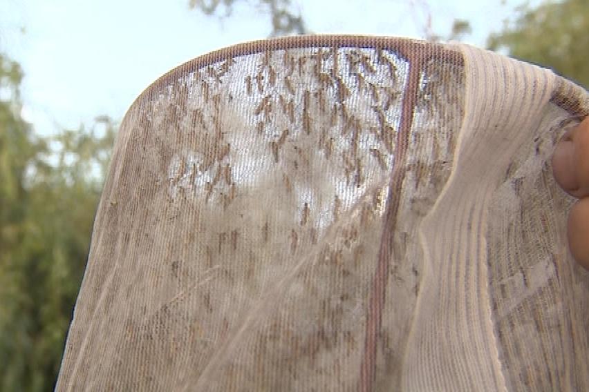 Do pasti se chytly dva až tři tisíce komárů