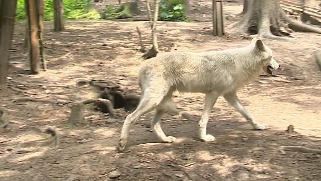 Vlk v olomoucké zoo