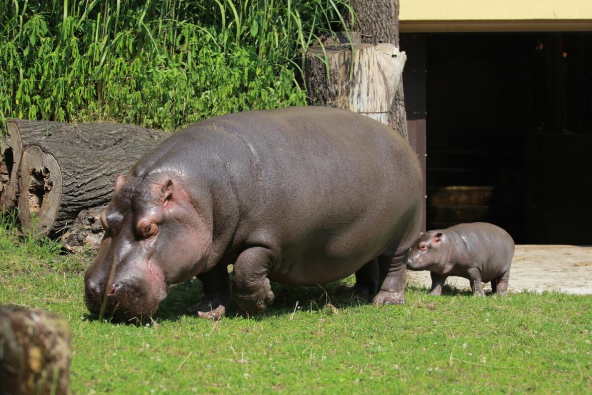 Mládě hrocha s matkou v ostravské zoo