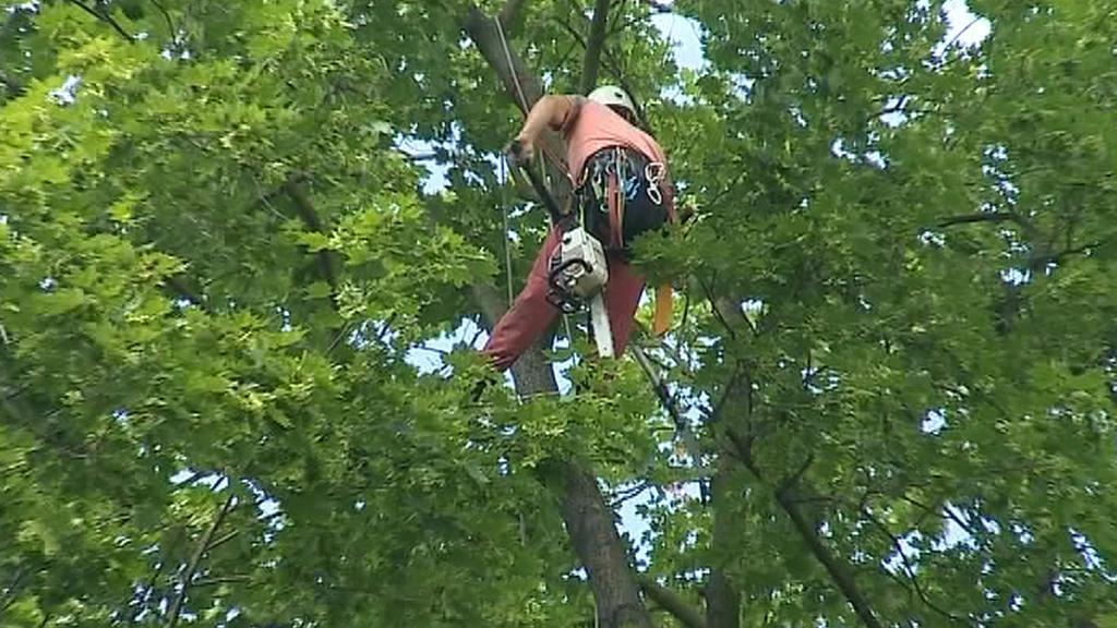 Stromolozec se prodírá korunou stromu