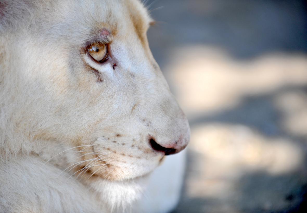 Mládě bílého lva