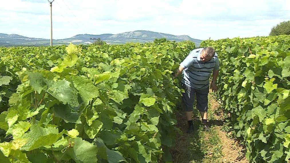 Vermikompost si pochvalují i vinaři