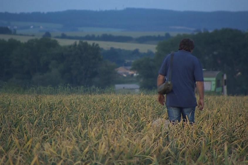 Farmáři hlídají svoje pole s česnekem dnem i nocí