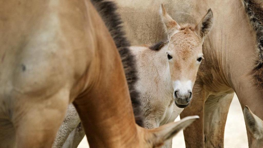 Hříbě koně Převalského
