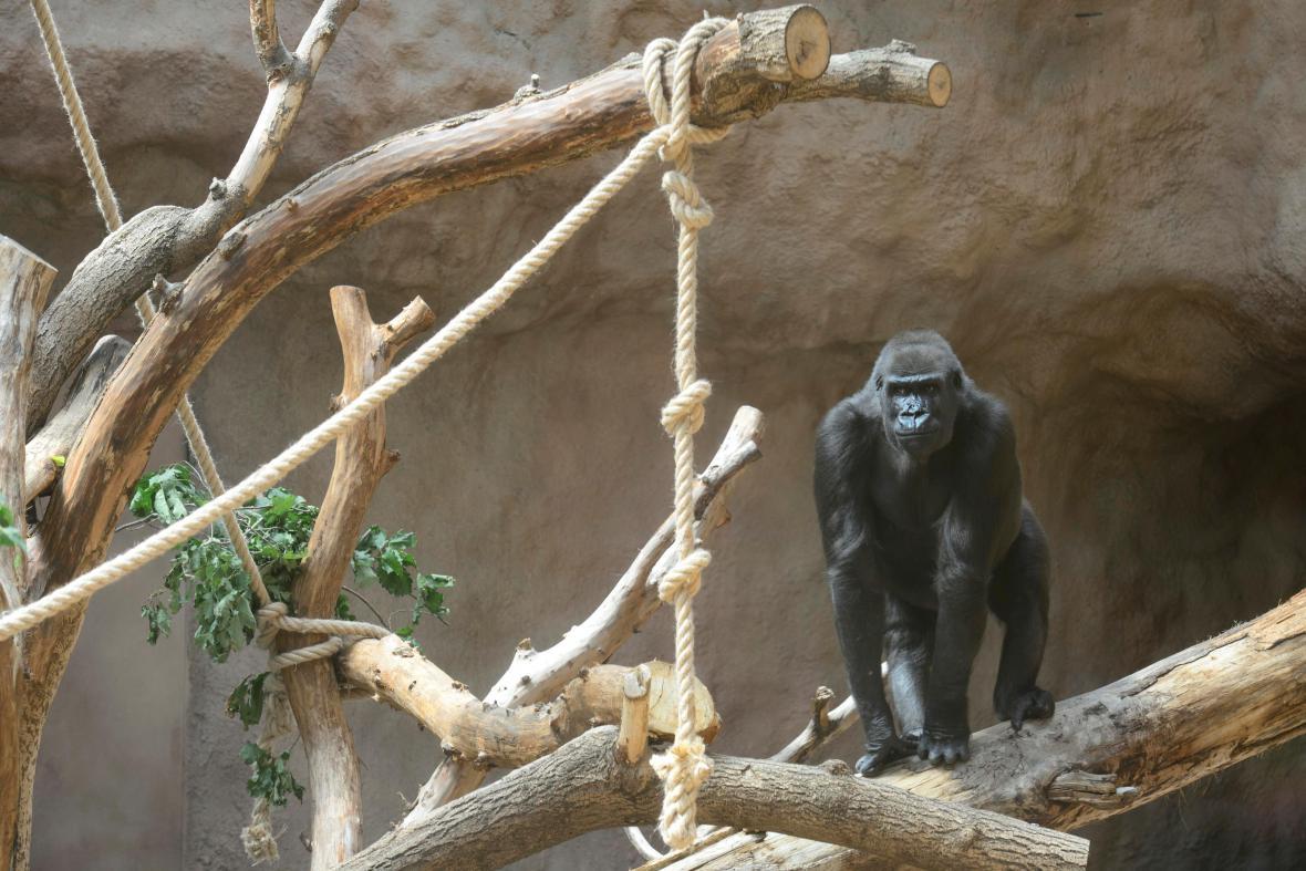 První z goril vstupuje do svého pavilonu