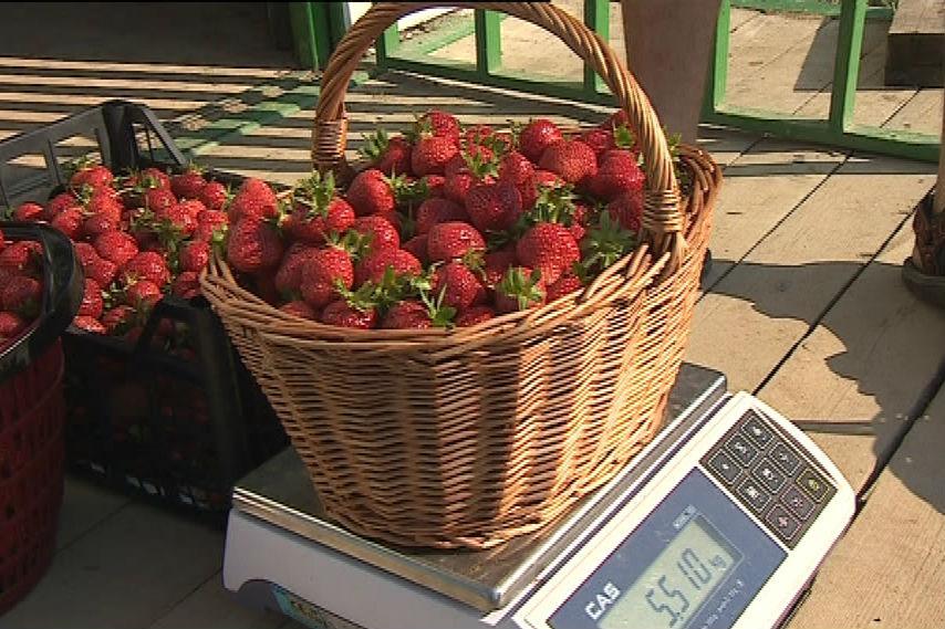 Nasbírané jahody se zváží a zaplatí
