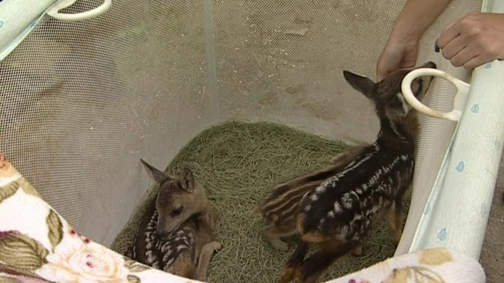 V Ptačím centru zachraňují mladá srnčata i sele divočáka