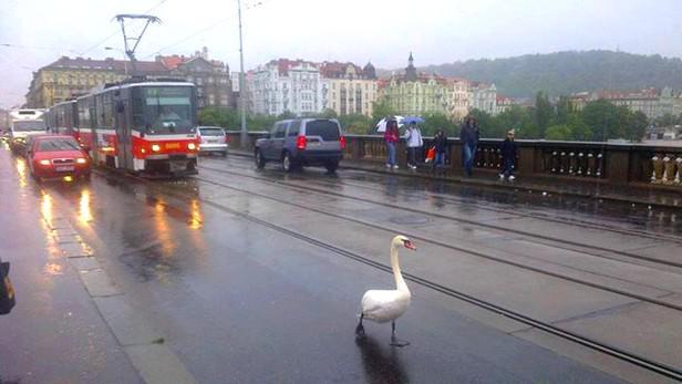 Zmatená labuť při povodních v Praze
