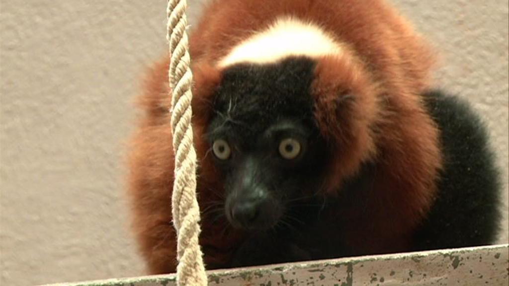 Lemur pražské ZOO