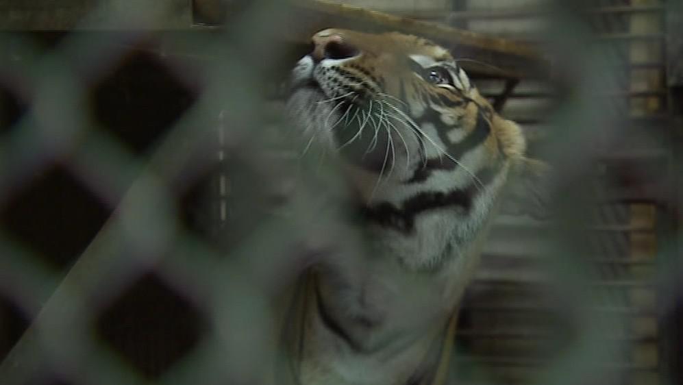 Samice tygra malajského v Zoo Brno