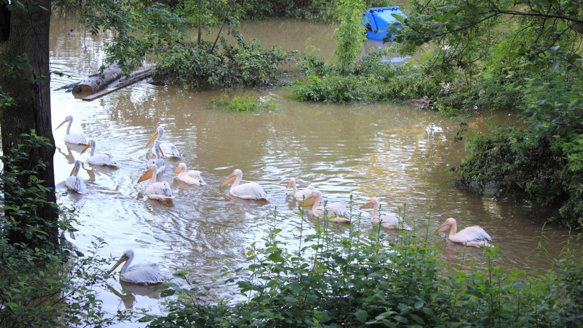 Pelikáni v zatopené pražské zoo