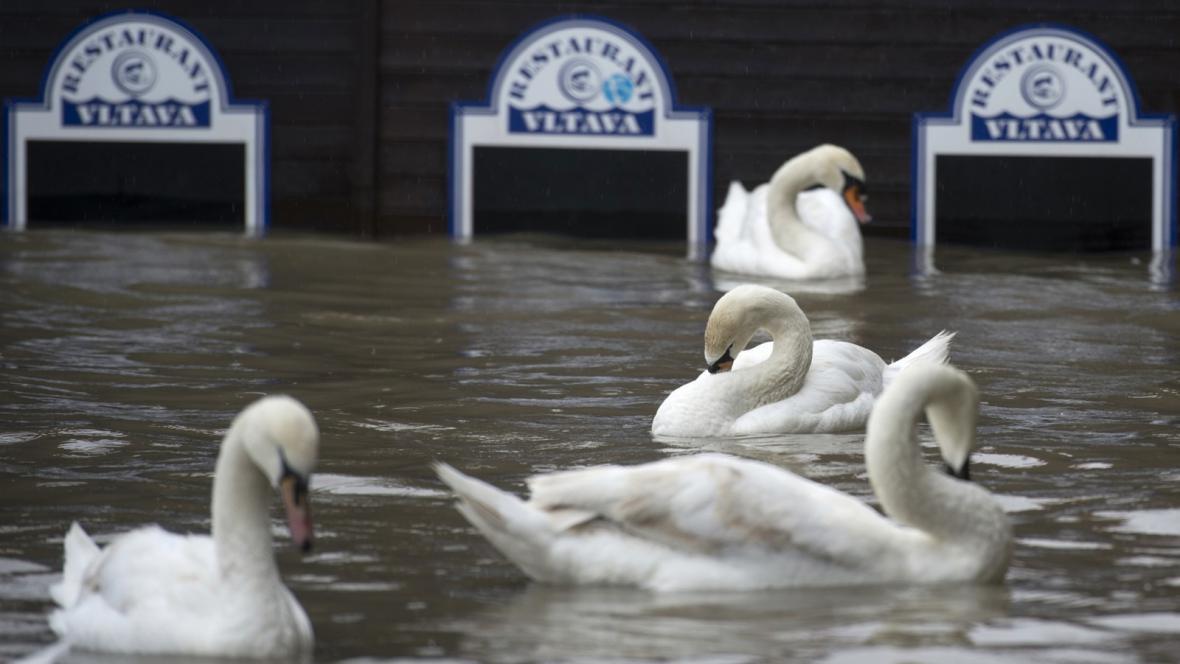 Labutě u zatopeného restaurantu na náplavce v Praze
