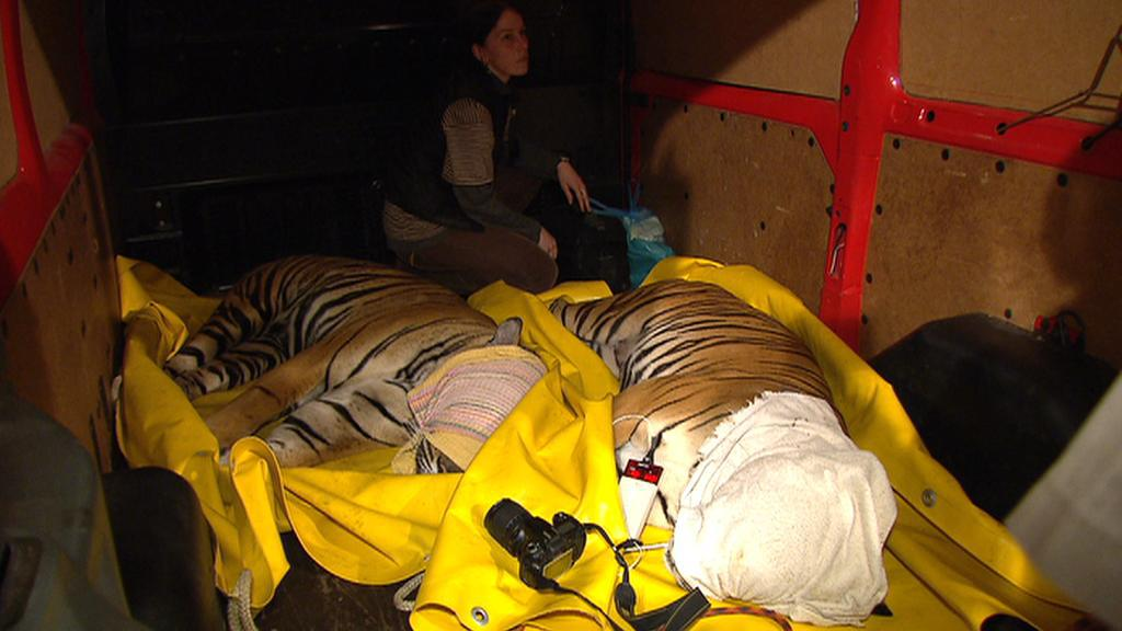 Stěhování tygrů z pražské zoo