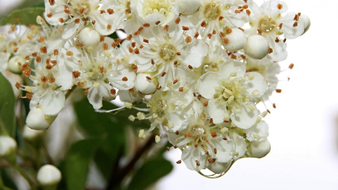 Kapky deště na mezi květy skalníku