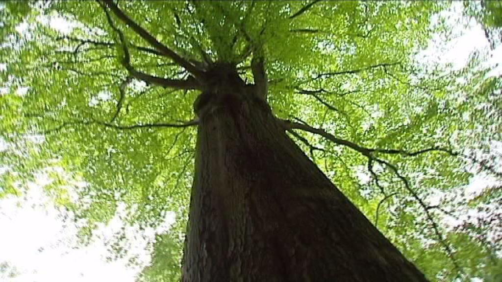 200letý strom