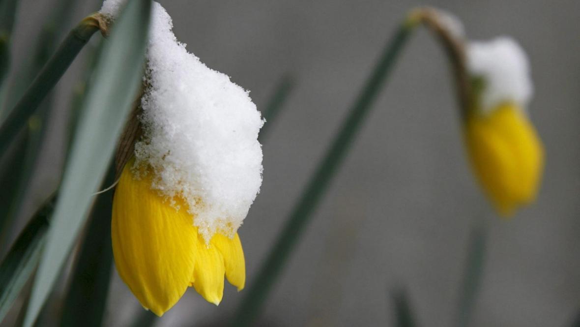 Narcis pod sněhem