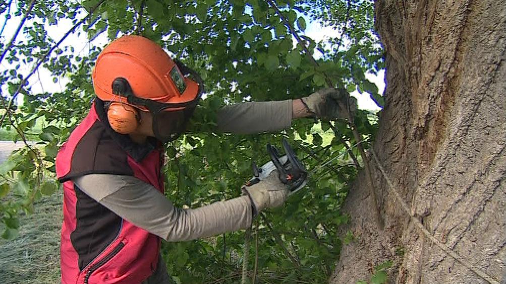 Arboristé museli ošetřit i kmen několikasetleté lípy
