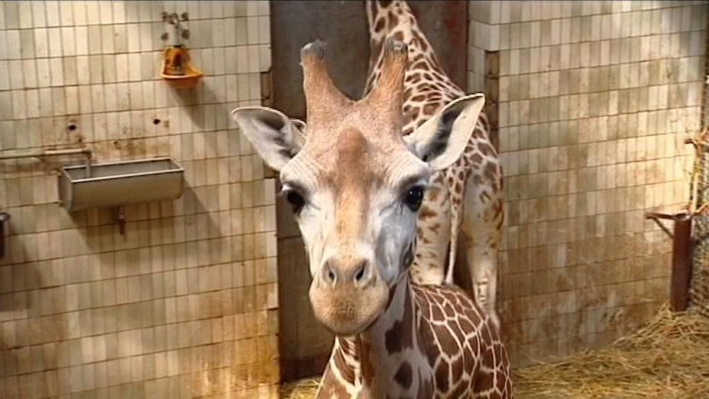 Žirafí samec Manu
