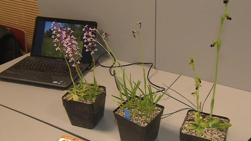 Evropské orchideje zkoumal i Charles Darwin