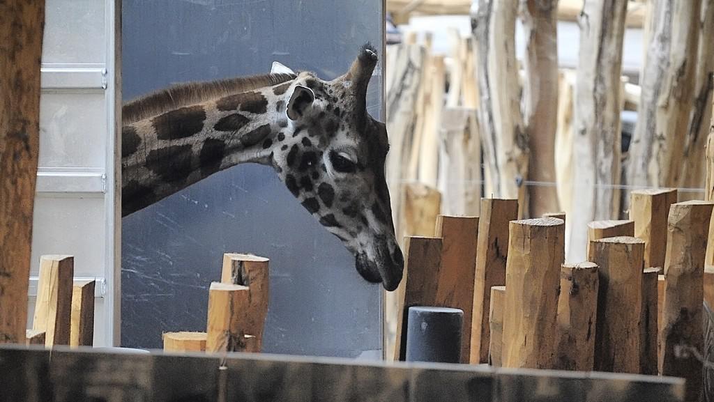 Příjezd žiraf do jihlavské zoo