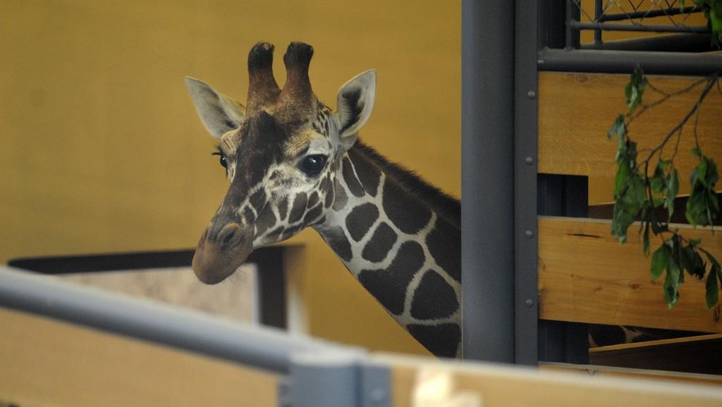 V jihlavské zoo se zabydlely první žirafy
