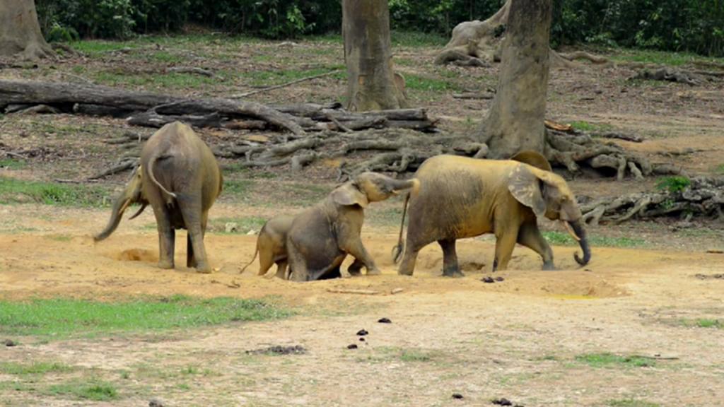 Sloni v Dzanga Bai