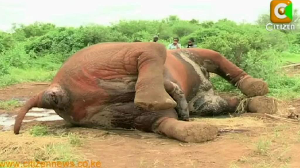 Slon zabitý pytláky