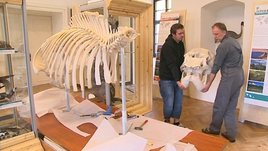 Lebka slavné indické slonice těsně před připojením na zbytek kostry