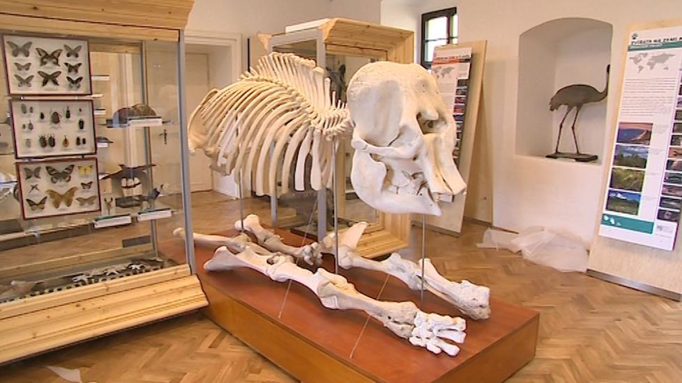Sestavená kostra slona