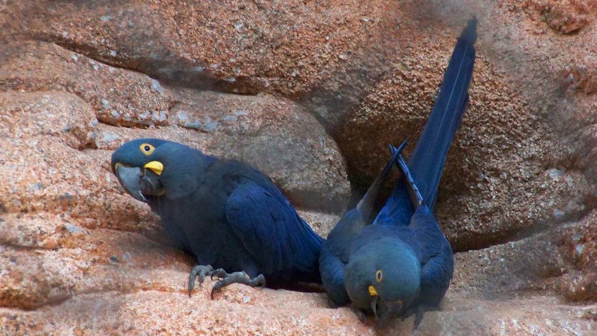 Vzácný papoušek ara kobaltový, kterého měl podle obžaloby pašovat Radim Már