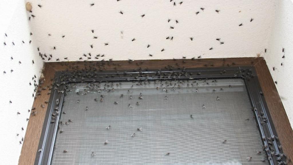 Přemnožené mouchy