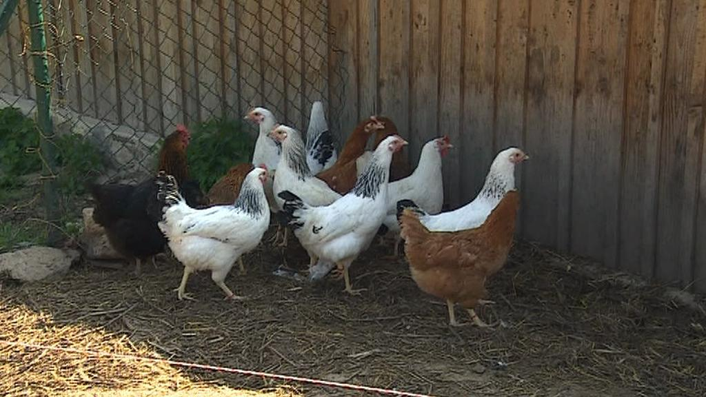 Kur domácí v domácím chovu