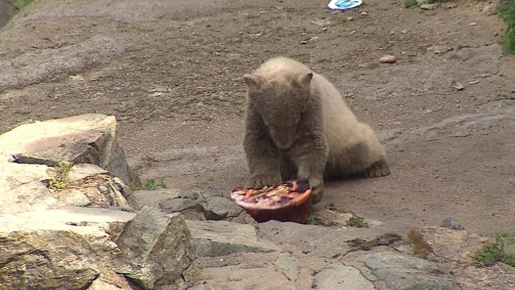 Nanuk s Kometou jsou již druhými mláďaty medvěda ledního odchovanými v Brně